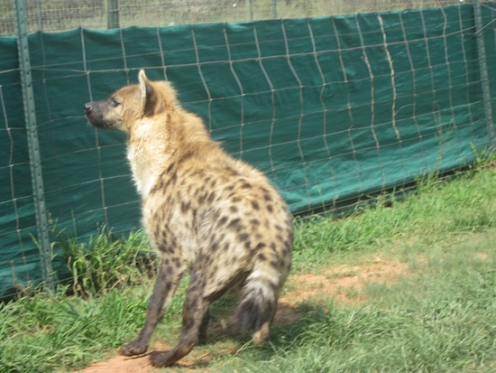 Roxy the hyena runs to visit when her name is called.