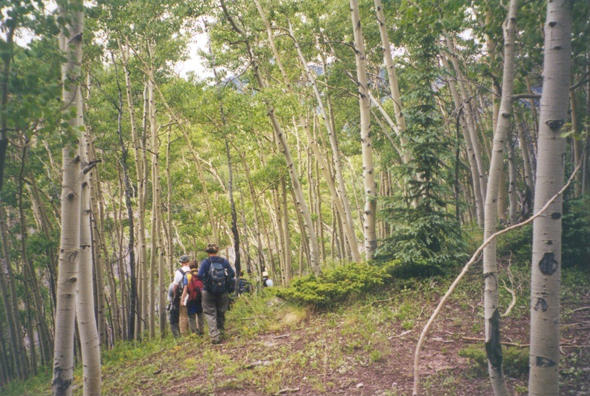 Students walking through a forest of aspens