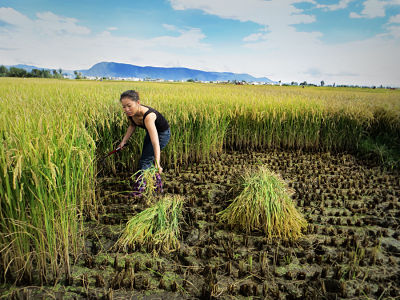 Harvesting rice in Xizhou Village