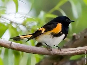 The American Redstart breeds in the Colgate forest and winters in Latin American coffee farms.
